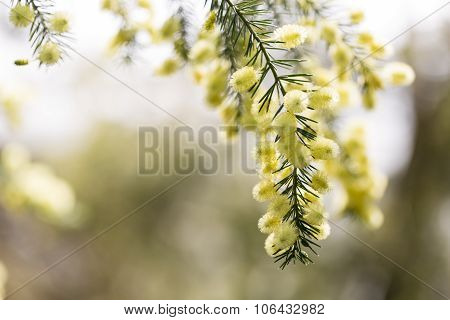 Close Up Of Conifer Blossoms In Spring