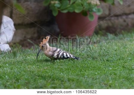 Hoopoe On Grass