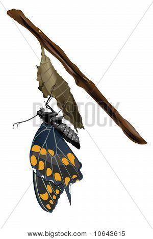 Butterfly on cocoon Illustration