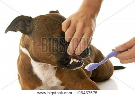 Staffordshire Bull Terrier And Tooth Brush