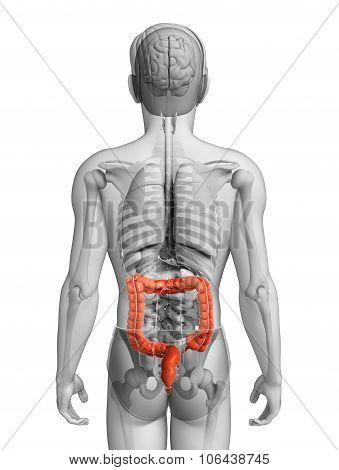 Male Large Intestine Anatomy