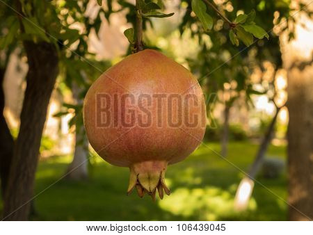 Pomegranate Fruit Growing In Orchard In Spain
