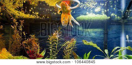 Gold Fish Feeding Time