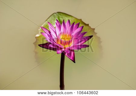 Isolated Purple Lily Flower And Leaf