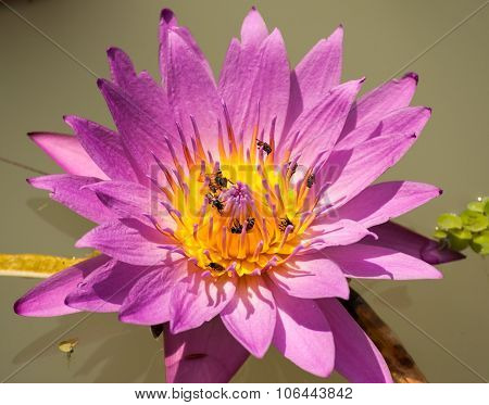Purple Lily Flower With Small Wasps Collecting Pollen