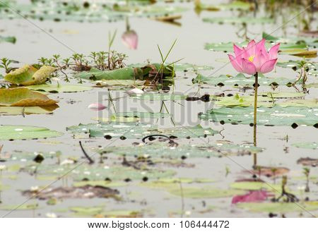 Lotus flower planting insect re-population and native plant re-introduction Asia