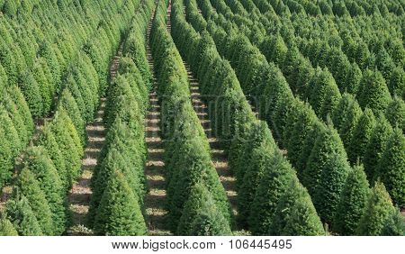 Christmas Tree Rows