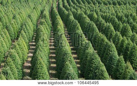 Christmas Tree Rows