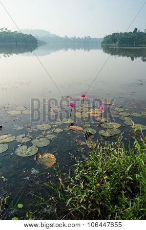 Lotus flower planting insect re-population in rural landscape Asia