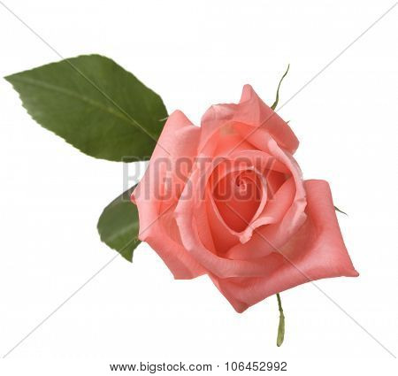 Pale  pink rose  isolated on white.