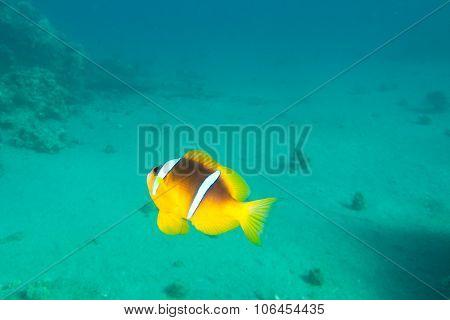 Single Clown-fish Is Underwater In Red Sea