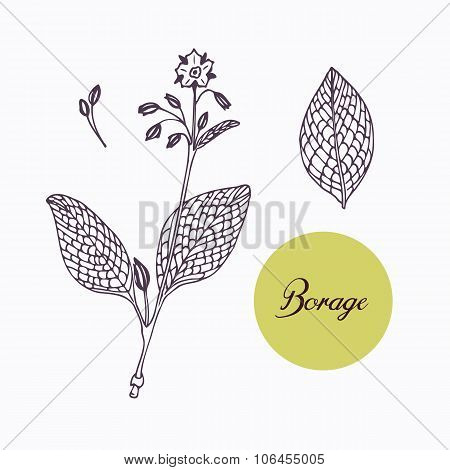 Hand drawn borage borago branch with leaves isolated on white
