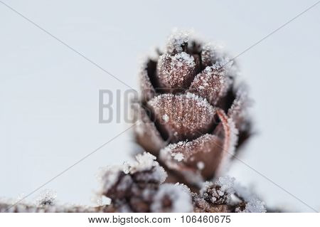 Hoarfrost On The Fir Cone.