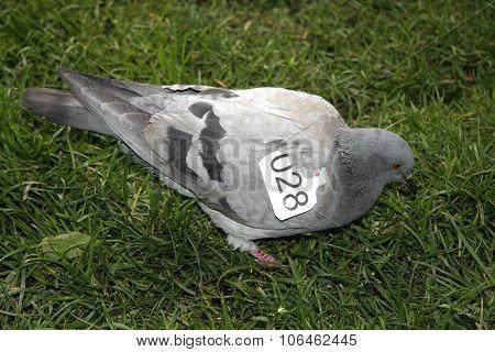 Identificated Pigeon