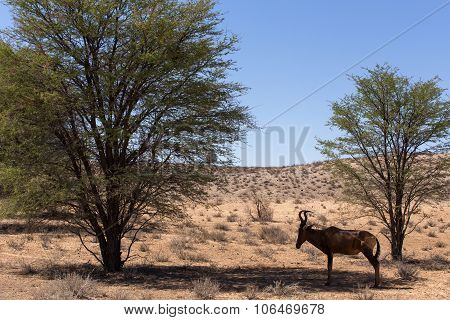 A Common Tsessebe (alcelaphus Buselaphus)the Camera