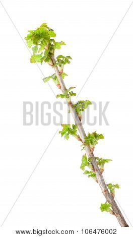 Blackcurrant Twig With Fresh Leaves