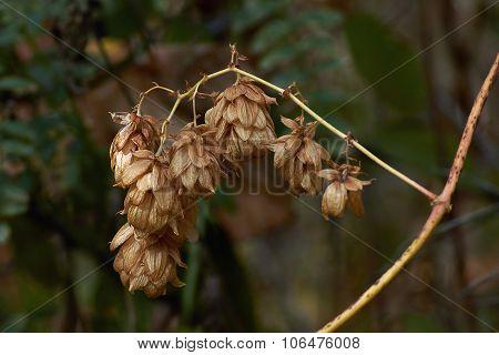 Fruits Of Hops, Sagging Bushes.