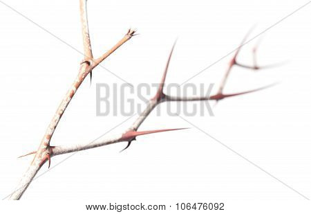 Thorns Zigzag On Zizyphus Twig