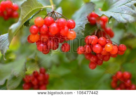 Rowan-berry bush in autumn