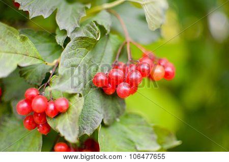 Rowan-berry bush in autumn
