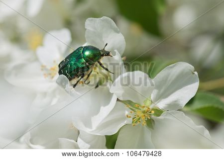 Rose Chafer On An Apple Flower