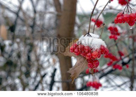 Berries Of Viburnum