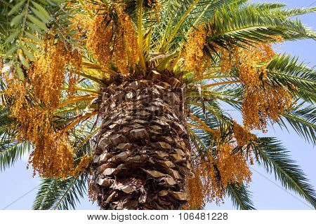 Big Palm Tree With Fruits Closeup
