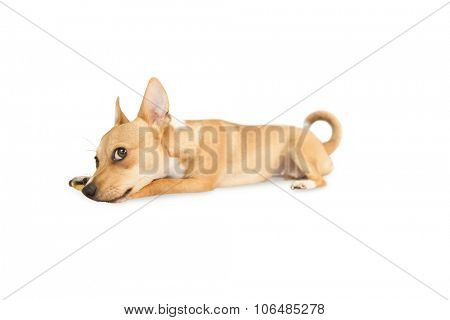 Cute dog chewing bone toy on white background