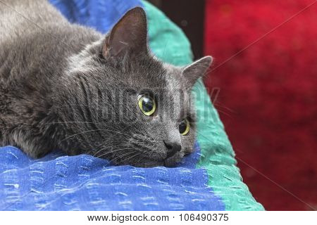 Grey Cat Lies Brooding On Bed