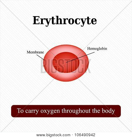 The structure of the red blood cell. Erythrocyte. Vector illustration