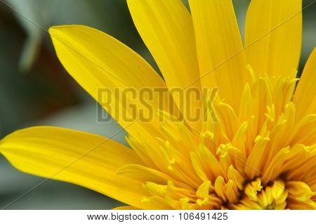Close-up Of Beautiful Yellow Chrysanthemum Flowers