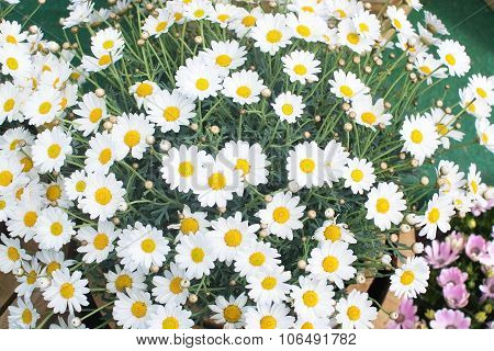White Oxe-eye Daisy May Flowers