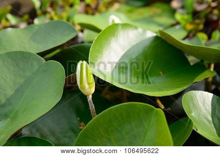 Lotus Flower Bud Floating On A Pond