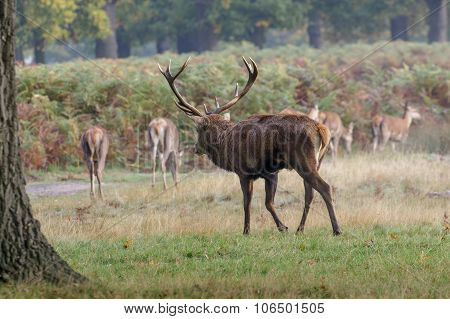 Red Deer Stag with hareem