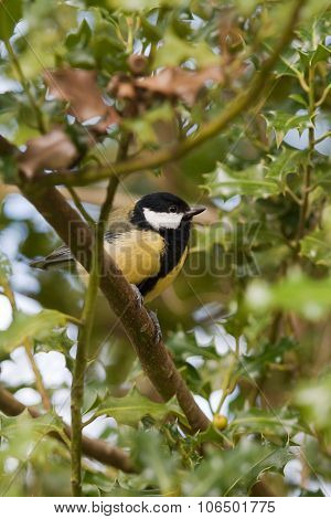 Great tit in a tree