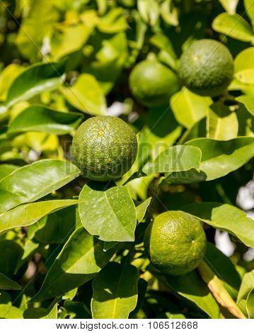 Hybrid Tree Growing Oranges And Lemons