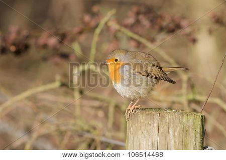 A Winter Robin On A Post