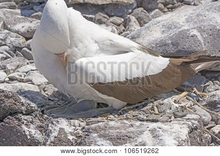 Nazca Booby Sitting On Its Egg