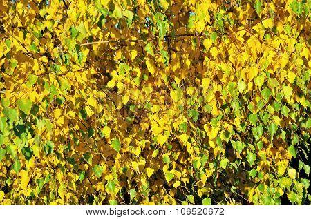 Autumn yellow leaves birch tree.