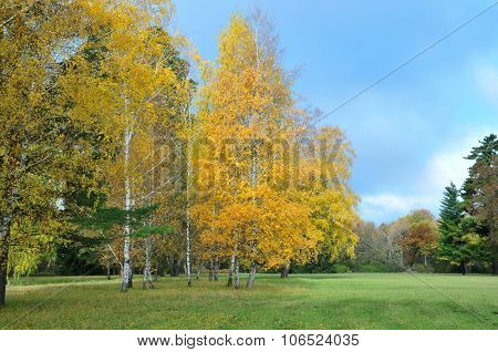 Autumn birch and pine trees in the park.
