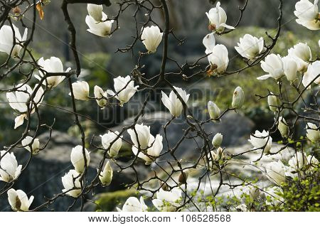 Flowers Of White Magnolia