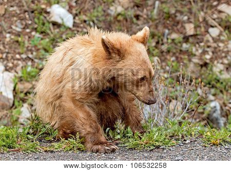 Cinnamon American Black Bear