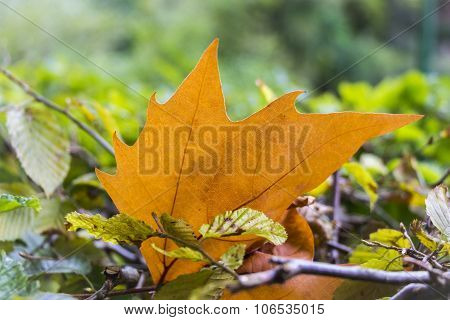 Beautiful Orange Maple Leaf In Colorful Soil Autumn Scene