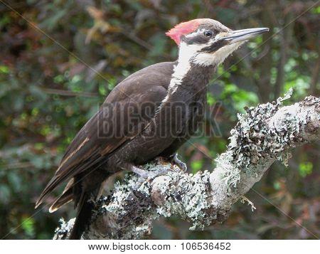 Female pileated woodpecker.