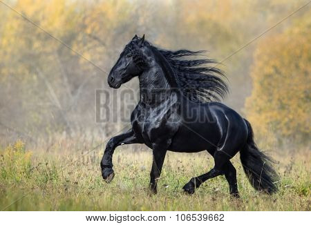The black stallion of the Friesian breed walks in the autumn foggy wood
