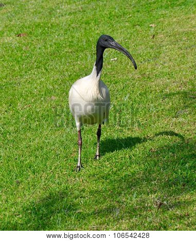 Hey There: Australian White Ibis