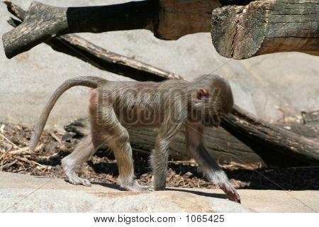 Baboon 21