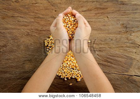 Maize Grain In Hand.