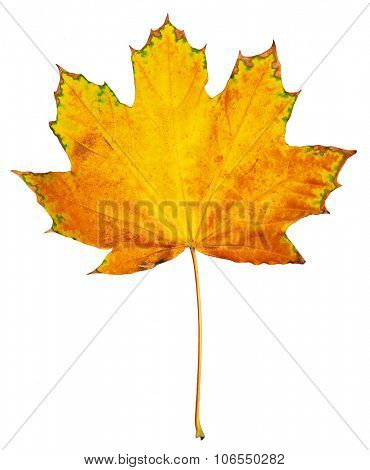 one big maple autumn leaf, colorful object isolated on white
