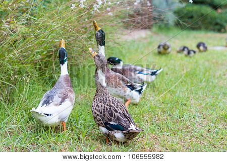Ducks In The Israeli Galilee